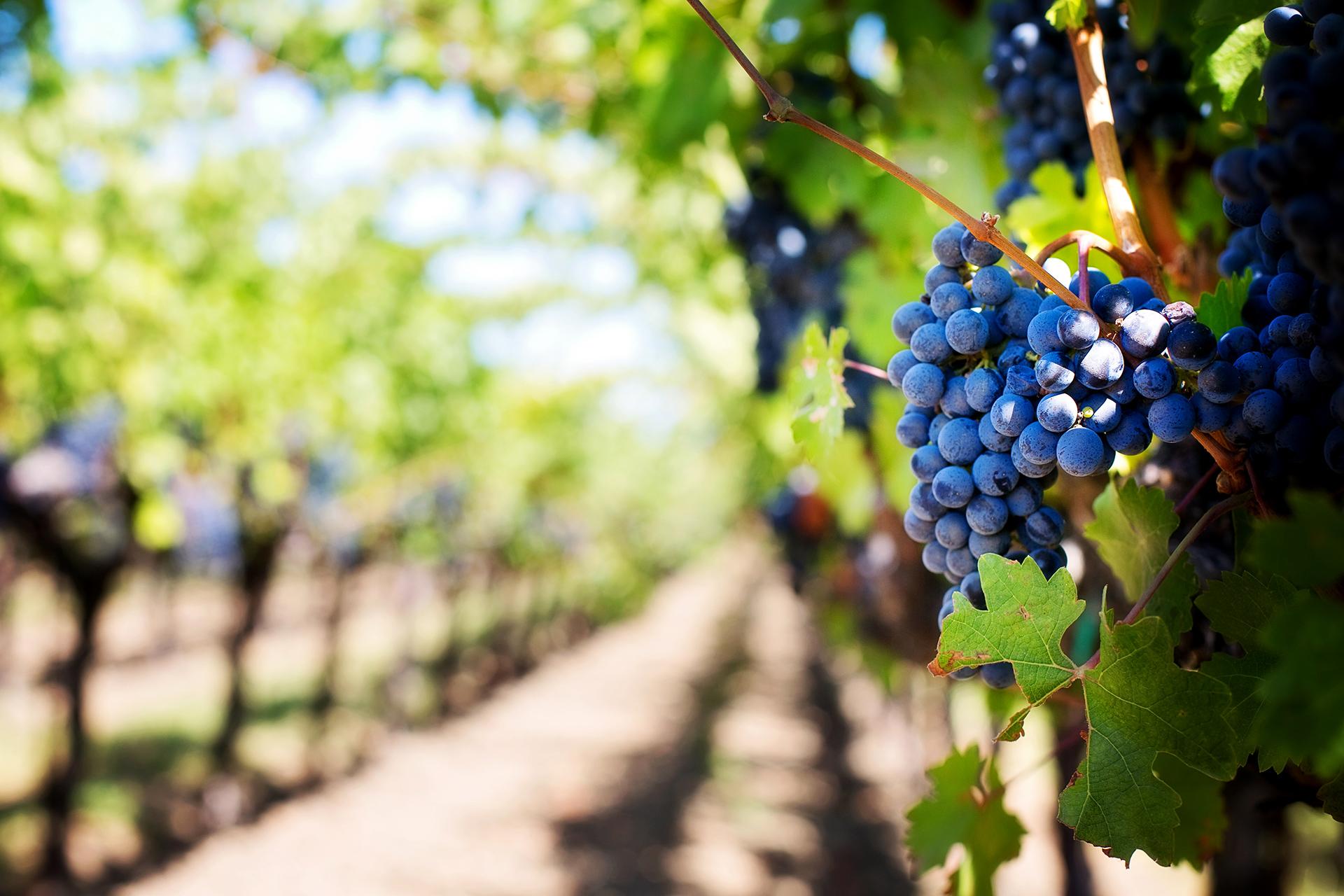 La Ruta del Vino de Gran Canaria comienza una nueva andadura